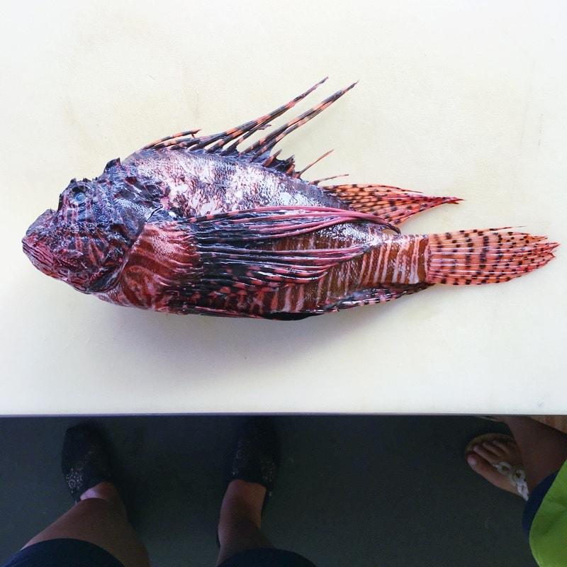 lion fish culinessa