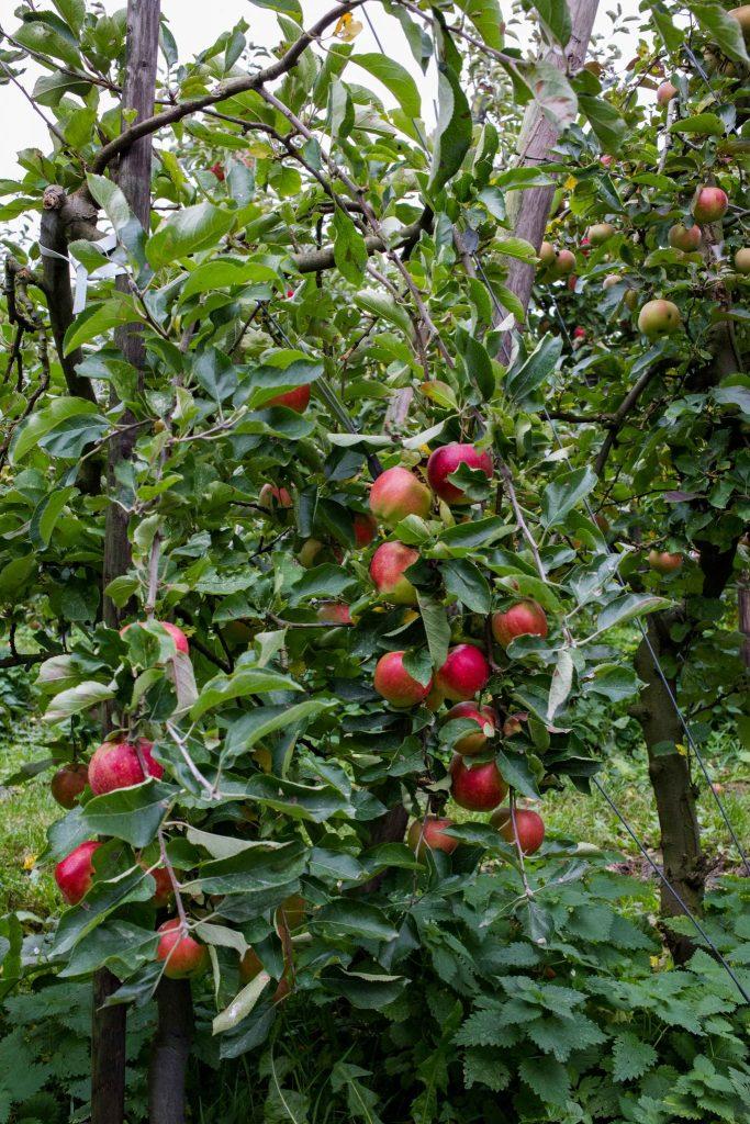 olmenhorst culinessa 2 2 683x1024 - Appels plukken bij landgoed de Olmenhorst